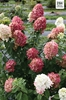 Sheridan Nurseries: Green Velvet™ Boxwood, Fire Light® Panicle Hydrangea, Double Play Doozie® -